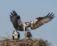 An Osprey Delivers Nesting Mat...