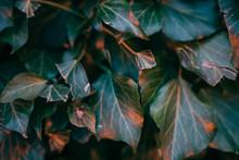 Efeu Blätter Bei Nacht - Nahaufnahme