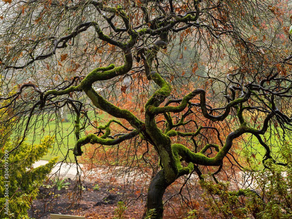 Fototapeta Mossy twisted branches of an Acer tree on a wet autumn morning in a Yorkshire garden