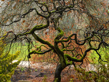 Mossy Twisted Branches Of An A...