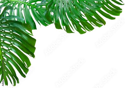 Vászonkép feuilles géantes de philodendron sur fond blanc