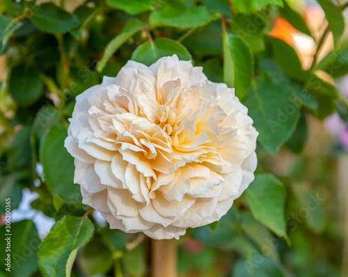 Fotografija rose flower in natural back