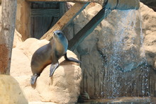 California Sea Lion Show - Zalophus Californianus