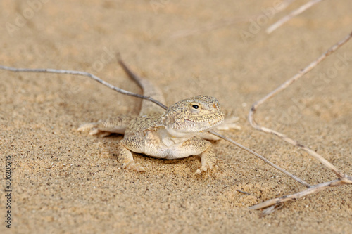 Toadhead agama Phrynocephalus mystaceus on a sand dune in Dagestan Canvas Print