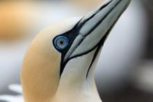 Portrait Of A Gannet. Northern Gannet Birds Colony, Bass Rock Island, Scotland. UK
