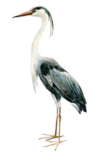 Heron Birds On Isolated White Background, Watercolor Illustration