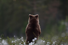 Brown Bear Cub Standing With I...
