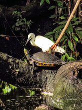 White Egret Looking At A Turtle