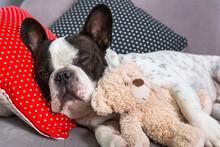 French Bulldog Sleeping On The...