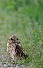 Short Eared Owl At Camus Wildlife Refuge
