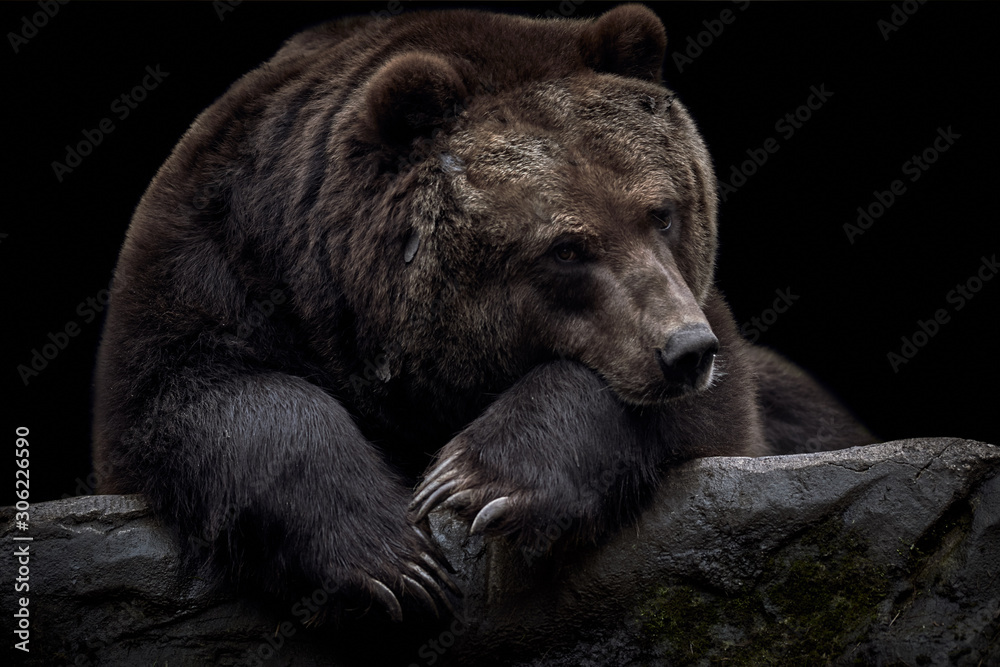 Fototapeta Close-up of a brown Kamchatka bear (Ursus arctos beringianus) lying on a rock and isolated on a dark black background