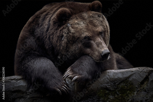Close-up of a brown Kamchatka bear (Ursus arctos beringianus) lying on a rock an Fototapet