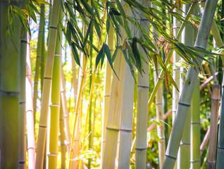 Fototapeta Bambus Jungle with green bamboo