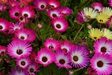 Mesembryanthemum Flowers In Pink And Yellow