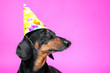 canvas print picture - Portrait of funny black and tun dachshund wearing bright dunce's cap.