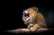 The lion of Berber look majestic teeth dark background