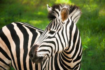 Fototapeta na wymiar Casela NatureParks, Mauritius, 15 Mar 2015 - Zebra