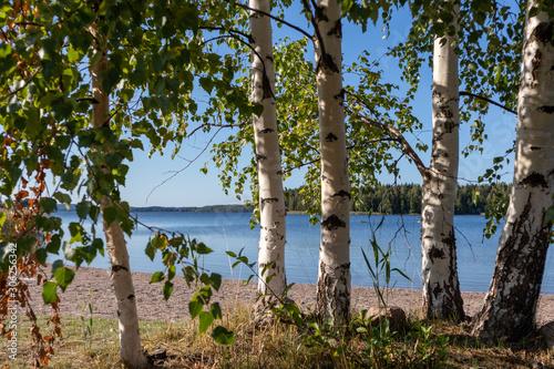 Fotografia Birch trees sunny day near lake in finland nice nature nordic finnish landscape