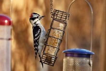 The Downy Woodpecker Is Mainly...