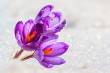 Crocuses - Blooming Purple Flowers Making Their Way From Under The Snow In Early Spring, Closeup With Space For Text