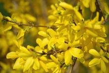 Closeup Of Forsythia Flowering Bush