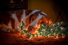 Dog Laying On Christmas Lights
