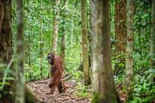 Orangutans With Cub. Central B...