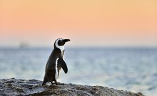 The African Penguin (Spheniscu...