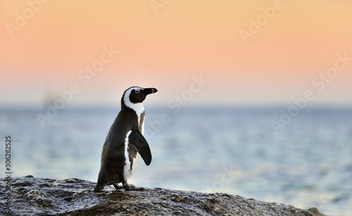 The African penguin (Spheniscus demersus). South Africa Fototapet
