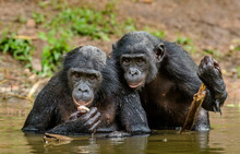 Bonobo In The Water. The Bonob...
