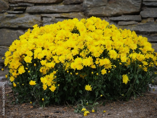 Close up of clusters of yellow flowers along a brick wall