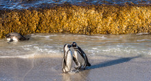 Kissing African Penguins On Th...