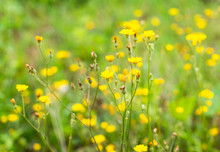 Yellow Wildflowers (Hypochaeri...