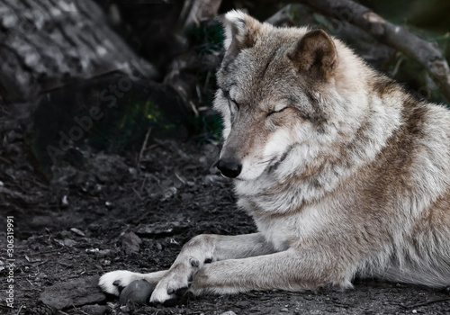 beautiful she-wolf female elegantly lies on the ground in profile close-up, the beast on vacation Canvas-taulu