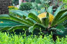 Sago Palm ( Cycas Revoluta ), Leaves And Female Cone.
