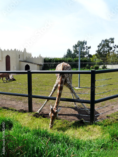 One giraffe pose with front paws wide open and the neck inside the fence Wallpaper Mural
