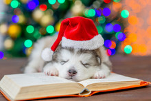 Alaskan Malamute Puppy Wearing...