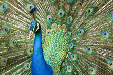Peacock And Tail