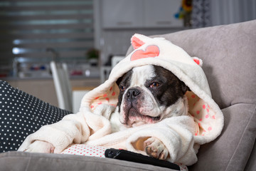 French bulldog in bathrobe watch tv with remote control in paw on the arm chair