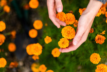 Hands Picking Up Orange Flower...