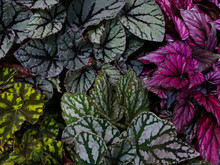 Multi-colored Begonia Leaves O...