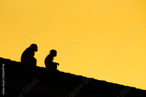 Photo North Coast, South Africa: Vervet monkeys - Chlorocebus pygerythrus - sit on a rooftop silhouetted against the early morning sky