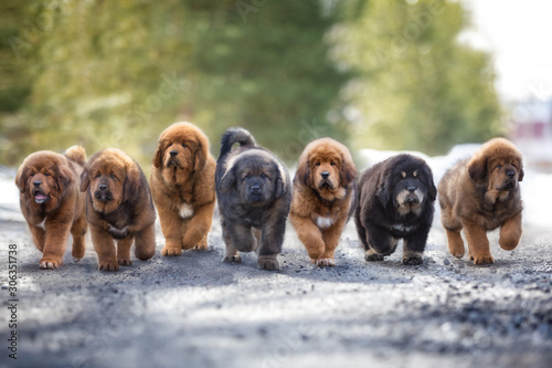 Fotografia Seven Tibetan puppy puppies run along the road in winter