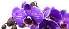 Dark Purple Orchid Isolated On...