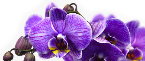 Fototapeta na wymiar Dark purple orchid isolated on white background