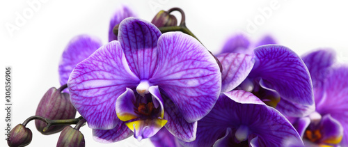 Dark purple orchid isolated on white background Wallpaper Mural