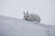 White Rabbit In Winter On The Snow