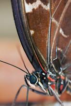 Blue Morpho Butterfly ( Morpho Peleides) Feeding On Some Rotting Fruit