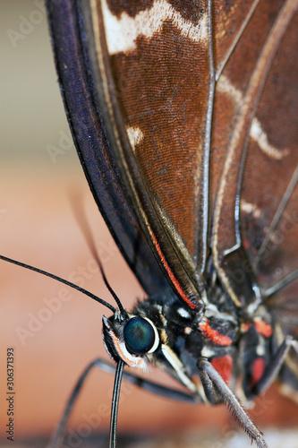Valokuva Blue Morpho Butterfly ( morpho peleides) feeding on some rotting fruit
