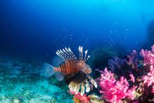Lionfish On A Dark Tropical Co...